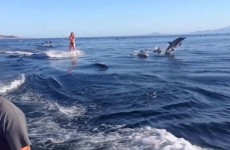 Girl Wakeboards With Dolphins – Unbelievable!