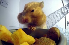 How Hamsters Can Manage So Much Food Inside Its Cheeks