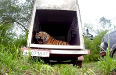 Amur tiger released in Russia 2015