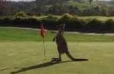 Kangaroo Casually on the Golf Course