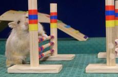 Hard Working Hamster